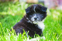 Cute Elo puppy Royalty Free Stock Photography