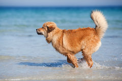 Cute Elo puppy runs along the beach Royalty Free Stock Image