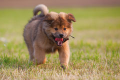 Cute Elo puppy runs over the meadow Stock Image