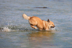 Cute Elo puppy runs through the sea Stock Images