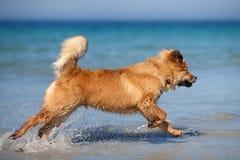 Cute Elo puppy runs through the water Stock Photo