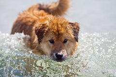 Cute Elo puppy standing in a wave Royalty Free Stock Image