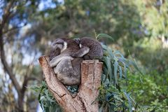 Cute embracing couple of Australian koala bears mother and its baby sleeping on an eucalyptus tree. stock images