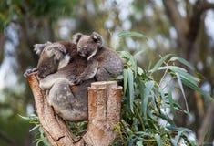Cute embracing couple of Australian koala bears mother and its baby sleeping on an eucalyptus tree. stock photos
