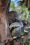 Cute embracing couple of Australian koala bears mother and its baby sleeping on an eucalyptus tree. Cute embracing couple of Australian koala bears mother and royalty free stock image