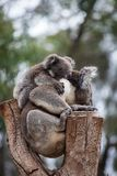 Cute embracing couple of Australian koala bears mother and its baby sleeping on an eucalyptus tree. Cute embracing couple of Australian koala bears mother and royalty free stock photo