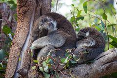 Cute embracing couple of Australian koala bears mother and its baby sleeping on an eucalyptus tree. Cute embracing couple of Australian koala bears mother and stock photo