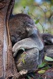 Cute embracing couple of Australian koala bears mother and its baby sleeping on an eucalyptus tree. Cute embracing couple of Australian koala bears mother and stock photos
