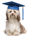 Cute eminent graduation havanese dog wit blue cap. Beautiful proud graduation chocolate havanese dog with blue cap isolated on white background stock images