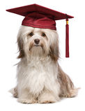 Cute eminent graduation havanese dog wit red cap Stock Images