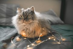 Cute emotional gray fluffy cat lays with the lights of the garlands in a cozy bed and looks to the side. Close-up photo of a cat lying in bed on dark bed linen royalty free stock image
