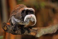 Cute emperor tamarin Royalty Free Stock Image