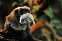 Cute emperor tamarin Stock Photos