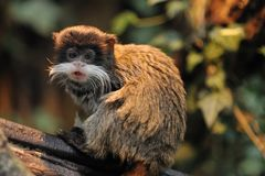 Cute emperor tamarin Royalty Free Stock Photography