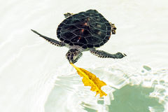 Cute endangered baby turtle Stock Images