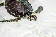 Cute endangered baby turtle Stock Photography