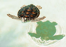 Cute endangered baby turtle Stock Photo