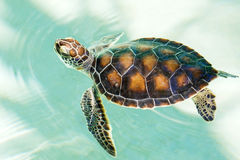 Cute endangered baby turtle. Swimming in turquoise water Stock Photo