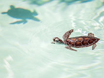 Cute endangered baby turtle Royalty Free Stock Photos