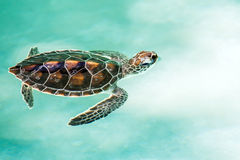 Cute endangered baby turtle. Swimming in turquoise water Royalty Free Stock Photos