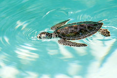 Cute endangered baby turtle Stock Image