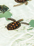 Cute endangered baby turtles Royalty Free Stock Photos