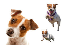 Cute and Energetic Jack Russell Terrier Dog Set Royalty Free Stock Image