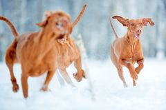Cute energetic red dog visla running in the snow winter stock photo