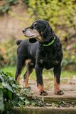 Cute English black and tan cocker spaniel. Standing on wooden stairs looking back, dog collar on, waiting for his master, blurry green and brown background royalty free stock photo