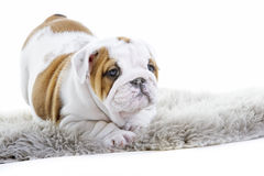 Cute english bulldog dog puppy Royalty Free Stock Images