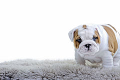 Cute english bulldog dog puppy Royalty Free Stock Photo