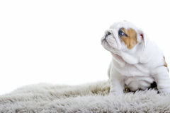 Cute english bulldog dog puppy Royalty Free Stock Photography