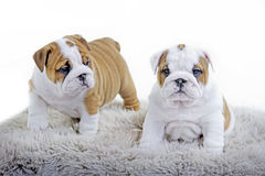Cute english bulldog dog puppy Stock Photo