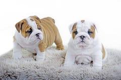 Cute english bulldog dog puppy Stock Photo