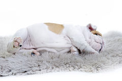 Cute english bulldog dog puppy stock photos
