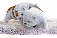 Cute english bulldog dog puppy stock photography