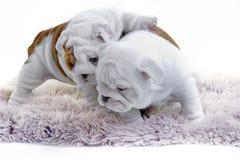 Cute english bulldog dog puppy Stock Photography