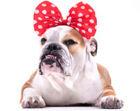 Cute English bulldog Stock Images