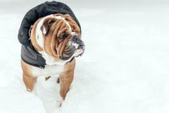 Portrait of English bulldog. Cute English bulldog outdoor in the snow Stock Photography