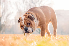 Cute English bulldog Stock Photography