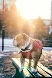 Cute English bulldog portrait Stock Images
