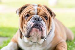 Cute English bulldog portrait Stock Photo