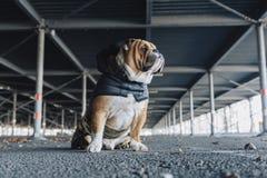 Cute English bulldog Royalty Free Stock Photo