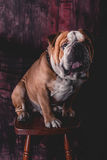 Cute English bulldog posing Royalty Free Stock Photography