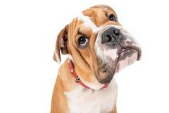 Cute English bulldog pup Stock Photos