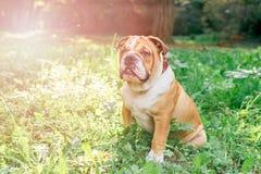 Cute english bulldog pup Royalty Free Stock Photo