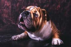 Cute English bulldog pup. Posing in the studio Stock Photo