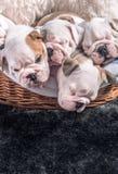 Cute English bulldog puppies Stock Photo
