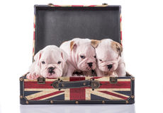 Cute English bulldog puppies. In suitcase on white background Royalty Free Stock Image