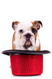 Cute english bulldog puppy Royalty Free Stock Images